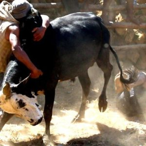 Bull wrestling for love in Madagascar Would you wrestle a bull for a wife?